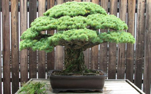 Для бонсай в горшке идеально подойдут несколько японских деревьев разных пород