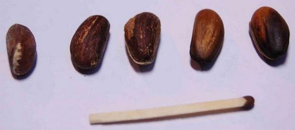 Правильное содержание семян – залог продолжительной жизни представителя мира флоры