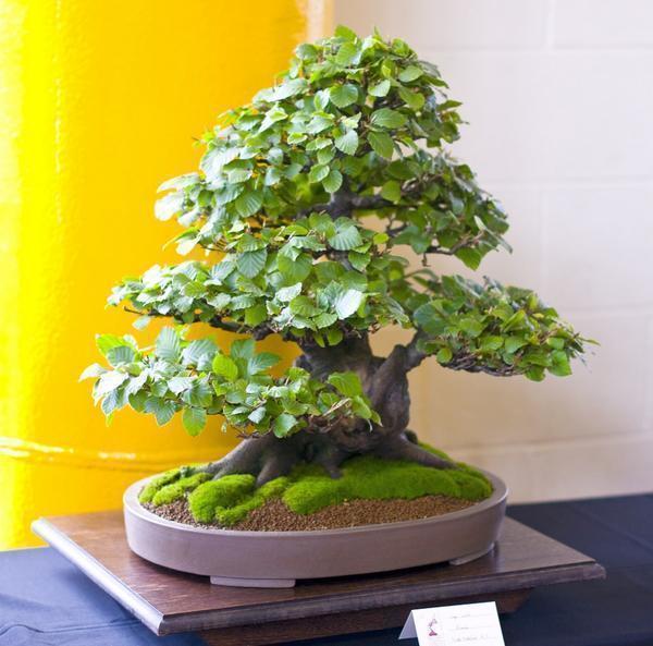 Бук – это основная фигура в искусстве бонсай. Это растение часто отправляют в музеи и на выставки