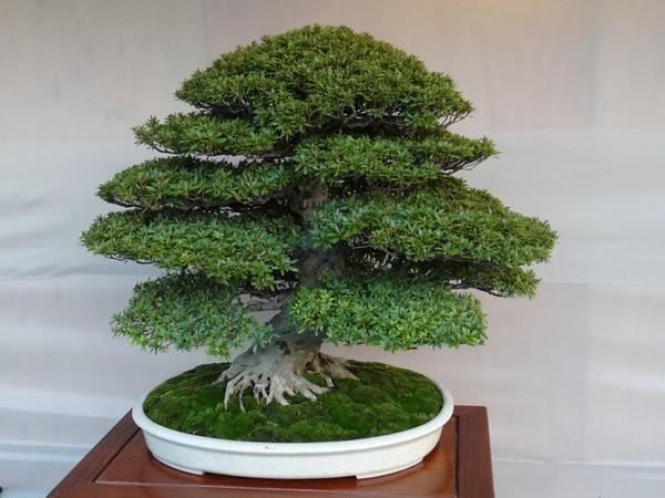 Есть много деревьев, которые подходят для бонсай и легко приживаются в домашних условиях