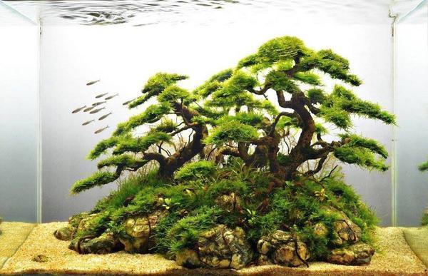 Бонсай в аквариуме – это составляющая искусства акваскейпинга, основанного в Японии