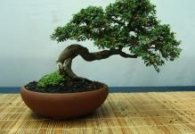bonsai-tree1